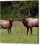 Cataloochee Elk Bull And Cow Canvas Print
