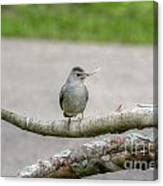 Catbird And Nest Material Canvas Print