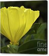 Catching Sunshine - Missouri Primrose Art Print Canvas Print