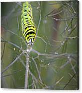 Caterpillar On Fennel In The Morning Dew Canvas Print