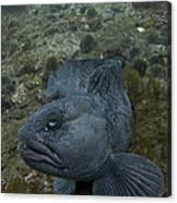 Catfish. Canvas Print