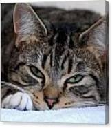 Cats 61 Canvas Print