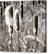 Cattails In Winter Canvas Print