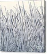 Cattails Typha Latifolia Covered In Snow Canvas Print