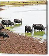 Cattle At Big Lake Arizona Canvas Print