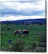 Cattle At Pasture Canvas Print