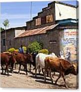 Cattle Drive Canvas Print