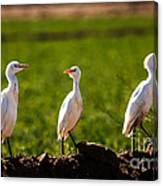 Cattle Egrets Canvas Print