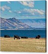 Cattle Grazing At Hawea Lake In Southern Alps In New Zealand Canvas Print