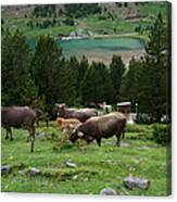 Cattle Grazing In The Pyrenees Canvas Print