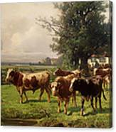 Cattle Heading To Pasture Canvas Print