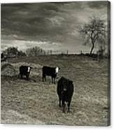 Cattle In The Winter Pasture Series Image 2 Canvas Print