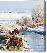 Cattle In Winter Canvas Print