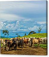 Cattle Canvas Print