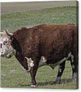 Cattle With Horns Full Body Portrait Canvas Print