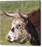 Cattle With Horns Side Portrait Canvas Print