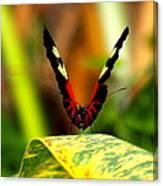 Cattleheart Butterfly  Canvas Print