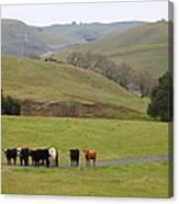 Cattles At Fernandez Ranch California - 5d21062 Canvas Print