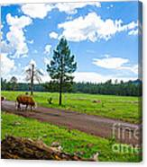 Cattles Roaming Through Hawley Lake Arizona Canvas Print