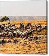Cattles Canvas Print