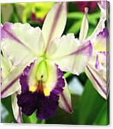 Cattleya Orchid Canvas Print