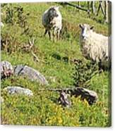 Cautious Sheep In The Pasture Canvas Print