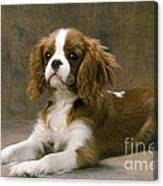 Cavalier King Charles Spaniel Dog Lying Canvas Print