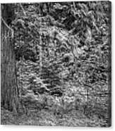 Cedar Along The Trail Of Cedars Glacier National Park Bw Canvas Print