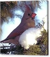 Cedar Cardinal Canvas Print