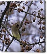 Cedar Waxwing Eating Berries 11 Canvas Print
