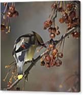 Cedar Waxwing Eating Berries 7 Canvas Print