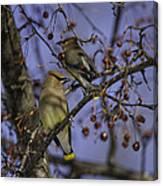 Cedar Waxwing Eating Berries 9 Canvas Print