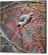 Cedar Waxwing Feeding Canvas Print