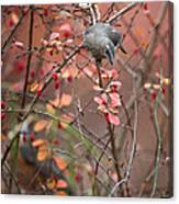 Cedar Waxwing Foraging Canvas Print