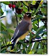Cedar Waxwing In Tree 030515a Canvas Print