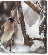 Cedar Waxwing In Winter Canvas Print