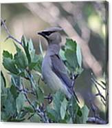 Cedar Waxwing On The Malheur National Forest Canvas Print