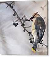 Cedar Waxwing Pictures 30 Canvas Print