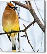 Cedar Waxwing Pictures 53 Canvas Print