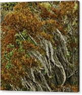 Cedars In The Fall Canvas Print