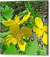 Celandine Poppy Or Wood Poppy - Stylophorum Diphyllum Canvas Print
