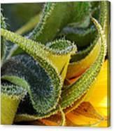 Celebration Sunflower Canvas Print