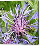 Centaurea Montana Blue Flower Canvas Print