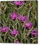Centaurea Uniflora Ssp. Uniflora Canvas Print