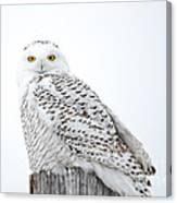 Centered Snowy Owl Canvas Print