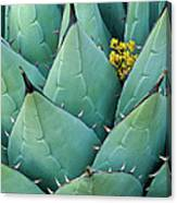 Century Plant And Tiny Blossom Canvas Print