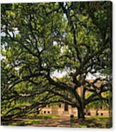 Century Tree Canvas Print