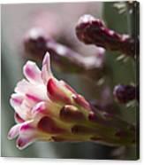 Cereus Hexagonus Pink Canvas Print