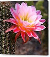 Cereus In Pink Canvas Print
