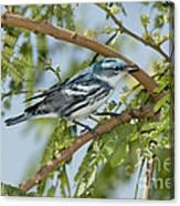 Cerulean Warbler Canvas Print